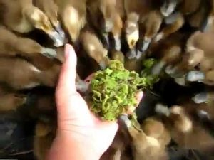 Pakan Alternatif Pada Ternak Bebek