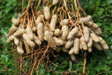 Hasil gambar untuk kacang tanah