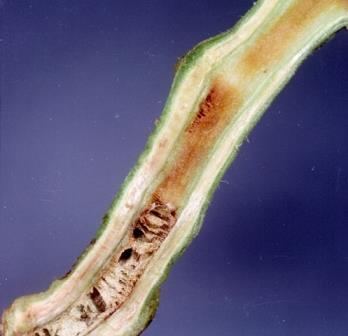 layu bakteri