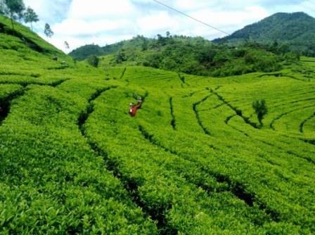 Agrowisata Malang Kebun Teh Wonosari