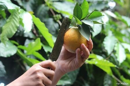 Agrowisata malang Petik Jeruk Selorejo