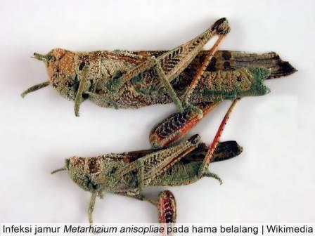 Jamur Metarhizium anisopliae Sebagai Agens Hayati Pengendali Hama yang Ampuh!!