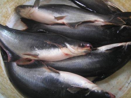 Cara Budidaya Ikan Patin, Ini yang harus anda siapkan !!