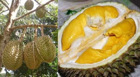 Cara Pemeliharaan Durian Agar Berbuah Lebat dan Manis !!