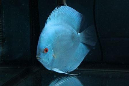 Jenis Ikan Hias Air Tawar Yang Populer Di Indonesia, Apa Saja?