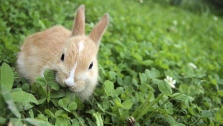 Pakan yang Harus dihindari pada budidaya Kelinci , Apa Saja?
