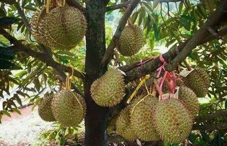 Syarat Tumbuh Durian, yang harus anda ketahui!!