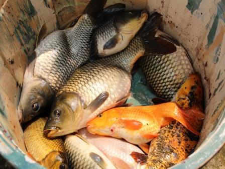 Racikan Umpan Ikan Mas Sederhana, Paling Jitu dan Ampuh !!