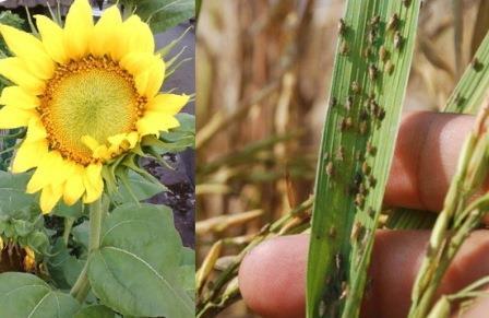Manfaat Bunga Matahari ( Refugia ) yang Jarang di Ketahui !!