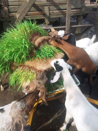 Cara Membuat Fodder Jagung, Pakan Alternatif Ternak !!