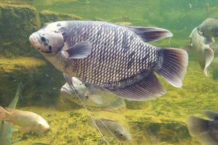 Cara Membuat Pakan Alternatif Ikan Gurame, Praktis dan Mudah !!