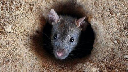 Cara Mengendalikan Tikus dengan Oli Bekas !! Begini Caranya !