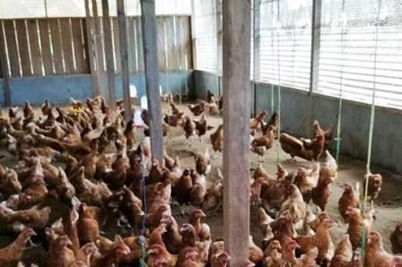 Cara Budidaya Ayam Petelur bagi Pemula, Ini Penjelasan Lengkapnya !!