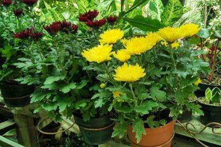 Cara Budidaya Bunga Aster Dalam Pot dengan Mudah dan Cepat Berbunga