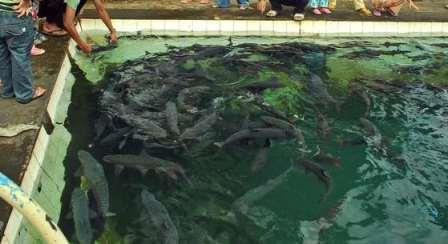 Misteri Ikan Dewa Cibulan Kuningan !!