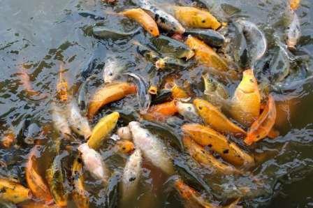 Usaha Pembesaran Ikan Mas bagi Pemula ( Panduan Lengkap ) Agar Cepat Besar !!