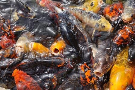Kenapa budidaya Ikan Mas bisa Sangat Menguntungkan?