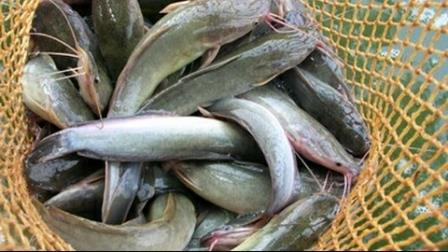 Resep Umpan Ikan Lele di sungai yang paling Jitu dan Ampuh !!
