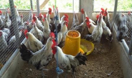 Cara Budidaya Ayam Arab Pedaging (Panduan Lengkap ) Untuk Pemula !!