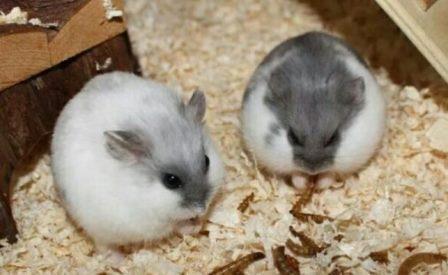 Cara Budidaya Hamster Campbel (Panduan Lengkap) Untuk Pemula !