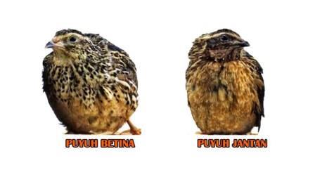 Cara Memilih Bibit Burung Puyuh Berkualitas !!