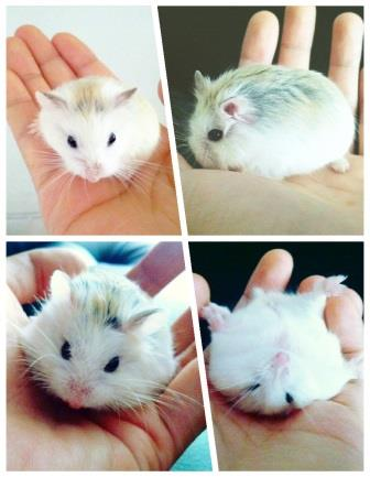 Mengenal Hamster Roborovski (Robo yang paling Lucu dan Menggemaskan)!!