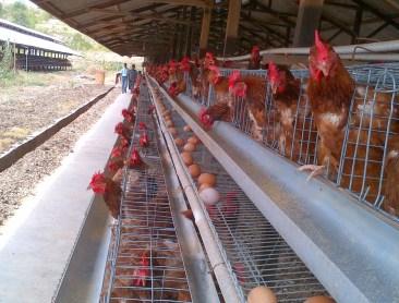 5 Tips Sukses Bisnis ternak Ayam Untuk Pemula !!