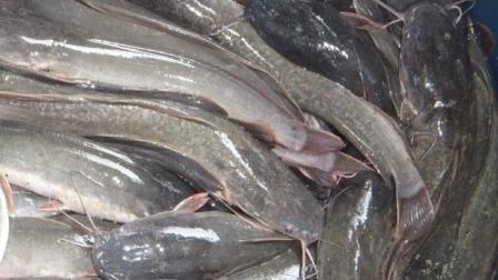 Cara Mancing Ikan lele di Sungai dan Rawa Terbukti Ampuh !!