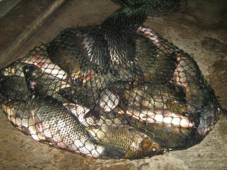 Cara Mancing Ikan Mas Yang Baik dan Benar, Strike !!