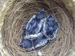 Cara Ternak Burung Kacer ( Panduan Lengkap ) Untuk Pemula !!