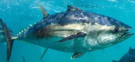 3 Umpan Ikan Tuna Sirip Biru dan Kuning Terbukti Ampuh !!