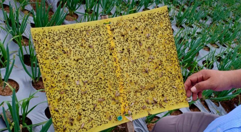 Likat Kuning Perangkap hama dalam PHT