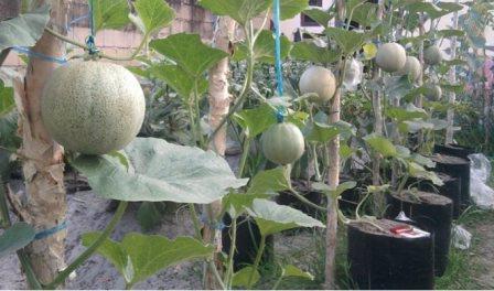 Cara menanam melon dalam pot/polybag Agar Tumbuh Subur !!