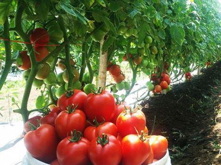 Cara Budidaya Tanaman Tomat, Hasil Melimpah !!