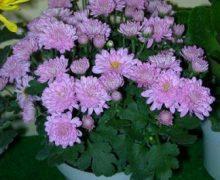 Tips Merawat Bunga Aster Agar Rajin Berbunga !!
