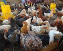 Tips Memilih Lokasi Untuk Peternakan Ayam !!
