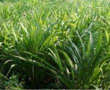 Cara Menanam Rumput Odot Hijauan Makanan Ternak !!
