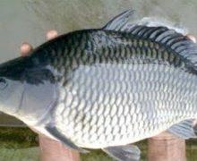 Umpan Mancing Ikan Mas Jos Ampuh Hasil Melimpah !!
