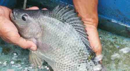 Cara Budidaya Ikan Nila Nirwana Nila Ras Wanayasa Nuansatani Com