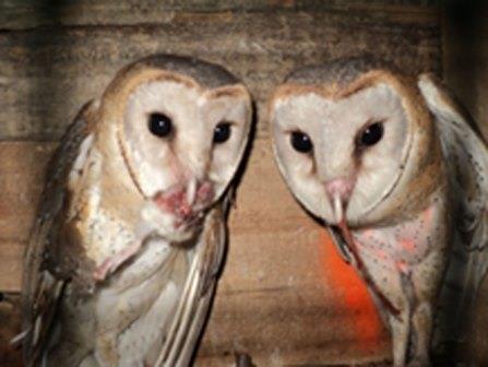 """Rumah Burung Hantu """"RUBUHA"""" efektif mengendalikan Tikus"""