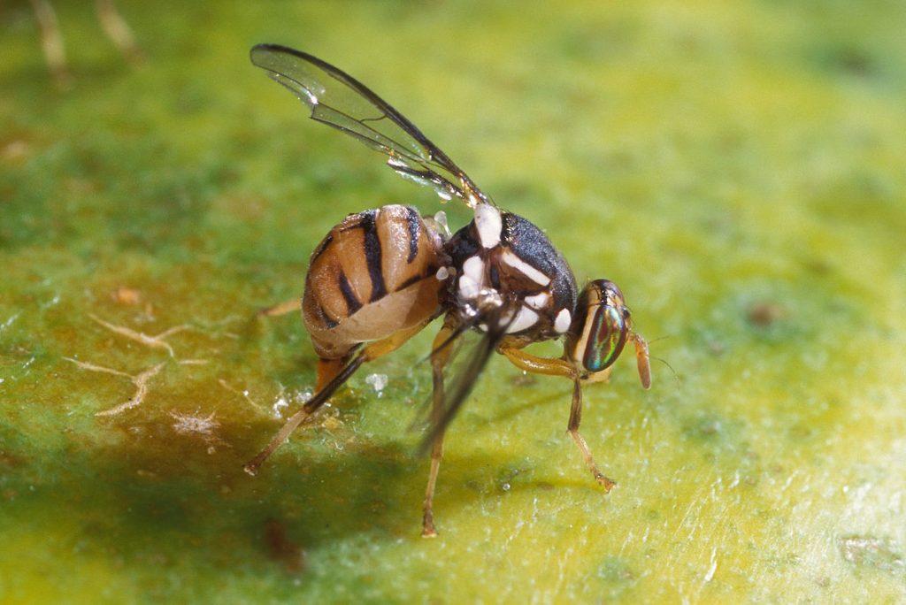 Lalat Buah dan Cara Pengendalian nya