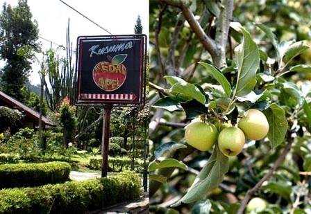Kusuma Agrowisata,  Sensasi petik apel di Batu Malang