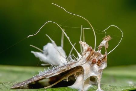 Jamur Beauveria Bassiana, Agens Hayati Mematikan Untuk Serangga !!