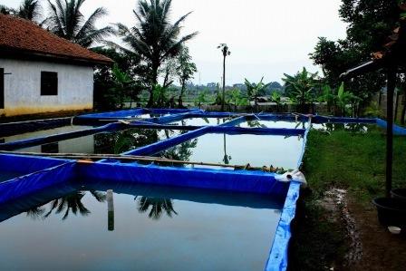 Cara Budidaya Ikan Nila di Kolam Terpal, Agar Cepat Besar !!