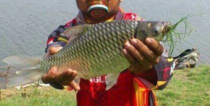 4 Resep Umpan Ikan Tawes Yang Paling Jitu Dan Ampuh
