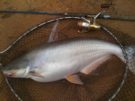 Resep Umpan Ikan Patin Yang Paling Jitu Dan Ampuh