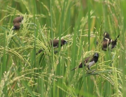 Cara Mengendalikan Burung Pipit di Sawah, Praktis dan Mudah !!