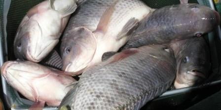 Cara Mancing Ikan Nila Dan Resep Umpan Ampuh Nya