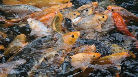 Cara Budidaya Ikan Mas ( Panduan Lengkap ) Untuk Pemula !!