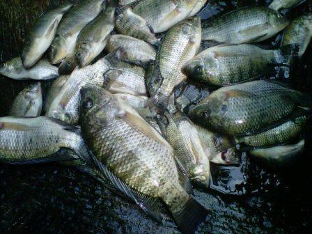 5 Umpan Ikan Nila Liar Di Sungai Atau Rawa Paling Jitu Dan Ampuh